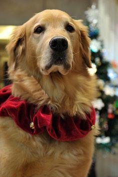 Santa Pokey. Christmas Golden Retriever.