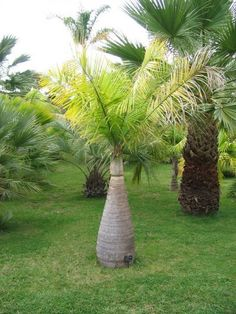 Small palm trees are an excellent and versatile addition to a yard. Miniature palm trees are generally defined as being under 20 feet tall, which in terms of palms is really quite short. Learn more about using these trees in this article. Palm Trees For Sale, Small Palm Trees, Small Palms, Palm Trees Landscaping, Tropical Landscaping, Landscaping With Rocks, Backyard Landscaping, Landscaping Ideas, Plants