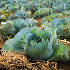 Gardeners dreaming of frost-touched collards, sweet winter roots, crisp fall lettuce and huge heads of broccoli need to get busy planning and planting now.