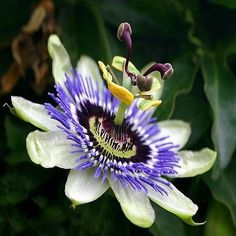 Passion Flower (Passiflora Caerulea) - What an exotic, lovely plant for your garden! Grown from Passion Flower seeds, this vining perennial can grow to 180 inches or more, and it produces large, 4 inc