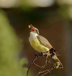 Foto bem-te-vi (Pitangus sulphuratus) por Enio d´Avila | Wiki Aves - A Enciclopédia das Aves do Brasil