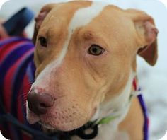 Ridgewood, NY - American Pit Bull Terrier Mix. Meet Princess a Puppy for Adoption.