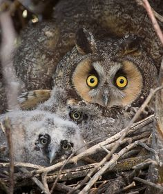 Long-eared Owl with Owlets