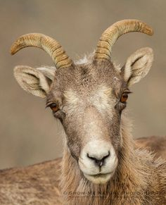 Bighorn Sheep (Ovis canadensis) found along the Mount Evans Highway (Colorado) - Rocky Mountain Bighorn Sheep | Show Me Nature Photography