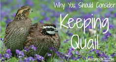 Why You Should Consider Keeping Quail | The 104 Homestead