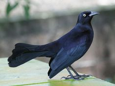 Greater Antillean Grackle (Quiscalus niger) is found throughout the Greater Antilles and the Cayman Islands as well as smaller, nearby islands. Like all Quiscalus grackles, it is a rather large, gregarious bird. It is very friendly towards humans and is known on various islands as Cling-cling, Chango, Chinchilín, and Iguana Bird.