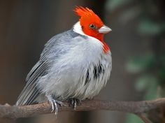 Red-Crested Cardinal. Photo by Peter van Zoest