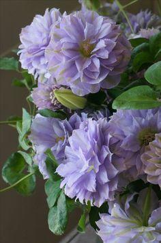 Clematis ~ 'Ruriokoshi'/ Looks like paper mache flowers. Exotic Flowers, Amazing Flowers, My Flower, Pretty Flowers, Purple Flowers, Flowers Nature, Climbing Clematis, Clematis Vine, Climbing Vines