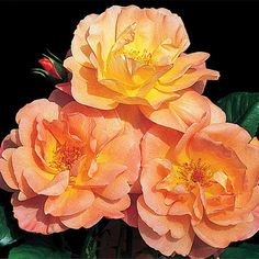 Westerland Hardy Climbing Rose. Great Reviews! Very Fragrant. Apricot-Orange. Blooms on old and new wood. Will survive extreme cold temperatures. Disease Resistant. Kordes. Zone 4-9.
