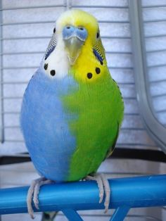 Half sider budgie , very rare and born sterile.