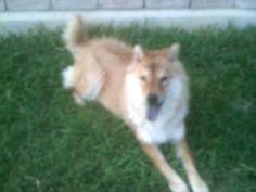 Naomi  Chowmix  Tejas Rescued Pet Adoptions  San Antonio, TX 78279