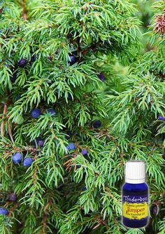 Juniper Essential Oil (Juniperus communis) for aromatherapy, skin care and natural perfumes. Tinderbox: supplying pure essential oils since Juniper Berry Essential Oil, Pure Essential Oils, Juniperus Communis, Blue Glass Bottles, Clary Sage, Hair Oil, Lemon Grass, Geraniums, Lotion