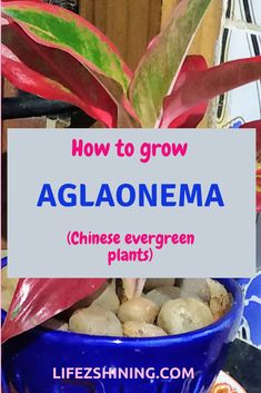 Helpful Guidelines In Growing Indoor Bonsai Trees Aglaonema Plants For Positive Energy - Learn How To Grow. Indoor Bonsai, Indoor Plants, Indoor Gardening, Chinese Evergreen Plant, Garden Soil, Bonsai Garden, Herb Garden, Vegetable Garden, Jade Tree