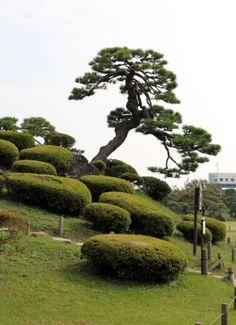 Niwaki.com | huge niwaki of china juniper in tamazukuri style with spherical