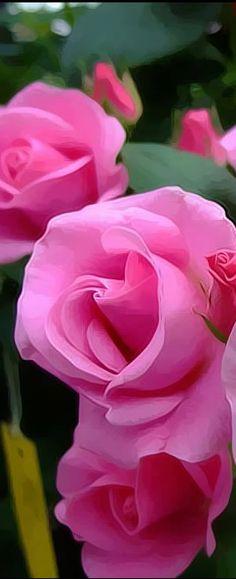 Beautiful Pink Roses ❤