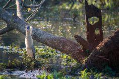 MARIA-FACEIRA  Maria-faceira Syrigma sibilatrix, conhecida popularmente como maria-faceira, é uma ave pelecaniforme da família Ardeidae. A maria-faceira é uma das primeiras espécies de aves a colonizar áreas recém-queimadas e aparentemente sua distribuição vem aumentando em função do desmatamento.  Nome Científico  Seu nome científico significa: do (grego) surigma, surizö = assobiador, apitar; e do (latim) sibilatrix, sibilare = assobiar, apito. ⇒ Ave que assobia.