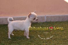 Chihuahuas Love - Respuestas a Dudas Raza Chihuahua. Todo Esta Escrito en Este Blog de Raza Chihuahua.
