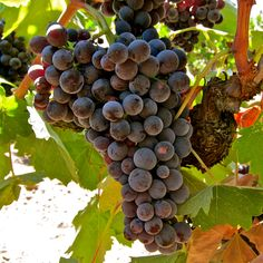 Mourvedre:  Ripken Vineyards; Mokelumne River AVA