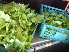 Insalata e verdure biologiche provenienti dall'isola, appena arrivate nel ristorante dove mangeranno i ragazzi. #camposcuola #leganavale #ventotene #green #alimentazione #biologica