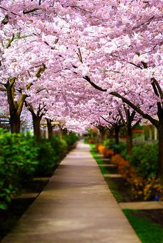 Sakura lined walk