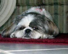 More About Playfull Shih Tzu Puppies Grooming Shih Tzu Mix, Shih Tzu Puppy, Shih Tzus, Shitzu Puppies, Cute Puppies, Dogs And Puppies, Doggies, Animal Books, Animal Pics