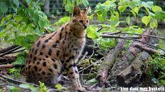 serval parc des félins