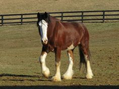 DraftsForSale.com: Clydesdale Horse For Sale - Cooper