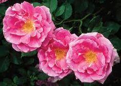 trinidad roses -