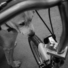 #Bicycle races are coming your way, so forget all your duties, oh yeah! #katedog