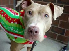 TO BE DESTROYED 12/23/13 Manhattan Center   My name is BONNIE. My Animal ID # is A0987419. I am a spayed female tan and white pit bull mix. The shelter thinks I am about 5 YEARS old.  I came in the shelter as a STRAY on 12/14/2013 from NY 10452, owner surrender reason stated was OWNER DIED. I came in with Group/Litter #K13-163060.  MOST RECENT MEDICAL INFORMATION AND WEIGHT 12/15/2013 Exam Type INITIAL - Medical Rating is 1 - NORMAL , Behavior Rating is NONE, Weight 53.8 LBS.  SCAN NEGATIVE…