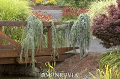 Weeping Blue Atlas Cedar - Monrovia - Weeping Blue Atlas Cedar-WANT