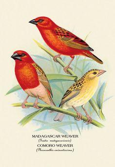 Madagascar Weaver, Comoro Weaver, by Arthur G. Butler