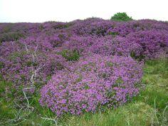 Heather, North Yorkshire Moors