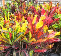 croton plant   ... Tropical Foliage by Miami Tropical Plants / Croton / Croton – Mammy