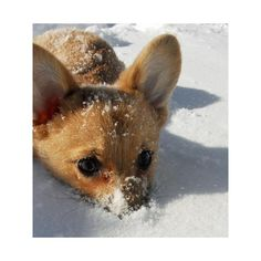 Chewie the Pembroke Welsh Corgi | Puppies | Daily Puppy ❤ liked on Polyvore