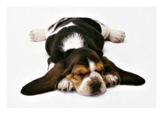 Basset Puppy Premium Poster at Art.com