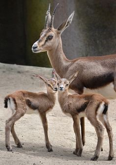 A Cuvier Gazelle watches over her two babies, who were born at the San Diego Zoo a week ago.