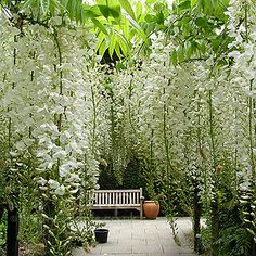 The effect of Wisteria (this one is likely to be Wisteria sinensis 'Alba') is divine.  Also look out for Wisteria 'Macrobotyris' with one metre long racemes.  It's worth the regular maintenance year around to see this one in flower.