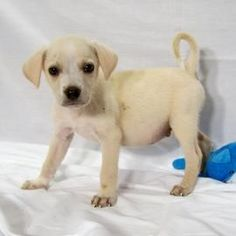 Mojito, Lab Mix, 9 weeks, Male  - Find me on pawschicago.org!