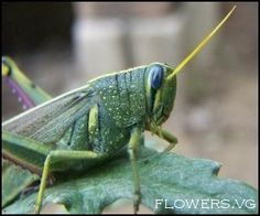 Get rid of grasshoppers with flour