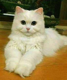 So cute kittens cats pets cute Funny Cute Cats, Cute Cats And Kittens, Baby Cats, Kittens Cutest, Baby Animals, Funny Animals, Cute Animals, Pretty Cats, Beautiful Cats