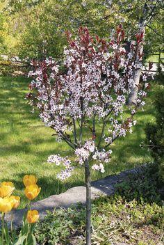 Dvergplomme - Prunus cistena.