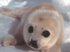 A saimaa ringed seal pup. It's the most endangered seal in the world with only about 290 animals in existance. Read more http://www.sll.fi/mita-me-teemme/lajit/saimaannorppa/ringed-seal