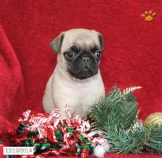 This Pug Puppies For Sale 580 Posted 26 Days Ago For Sale