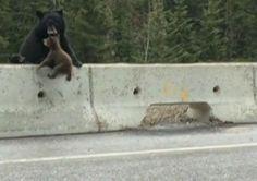 #VÍDEO: Mãe é mãe - Ursa resgate filhote em autoestrada movimentada no Canadá http://bbc.in/1lGDofI pic.twitter.com/AmylV9R6qO