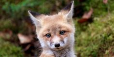 Stop the Horrific Ripping-Apart of Baby Foxes in Illegal Fox-Hunt 'Cubbing'!