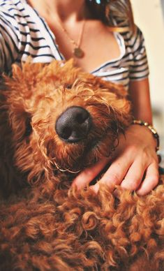 Goldendoodle <3