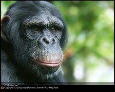 Title: Chimpanzee |  Artist: Jacques Defontaine |  Country: Belgium |  Software: Modo, Mudbox