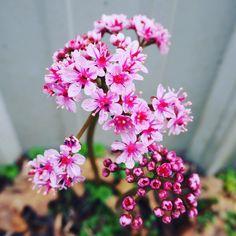 A little umbrella (plant) for the rainy day. #thebotanicallife #flowers #botanical #plants