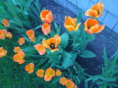 Miss my Tulips <3